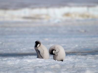 """alt=""""An Emperor Penguin Colony in Antarctica Vanishes"""""""