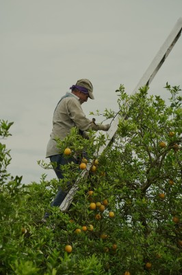 "alt=""Citrus Farmers Facing Deadly Bacteria Turn to Antibiotics, Alarming Health Officials"""