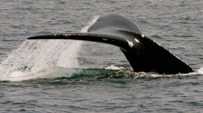 """alt=""""With billions at stake, Canada to show U.S. its fisheries protect whales"""""""