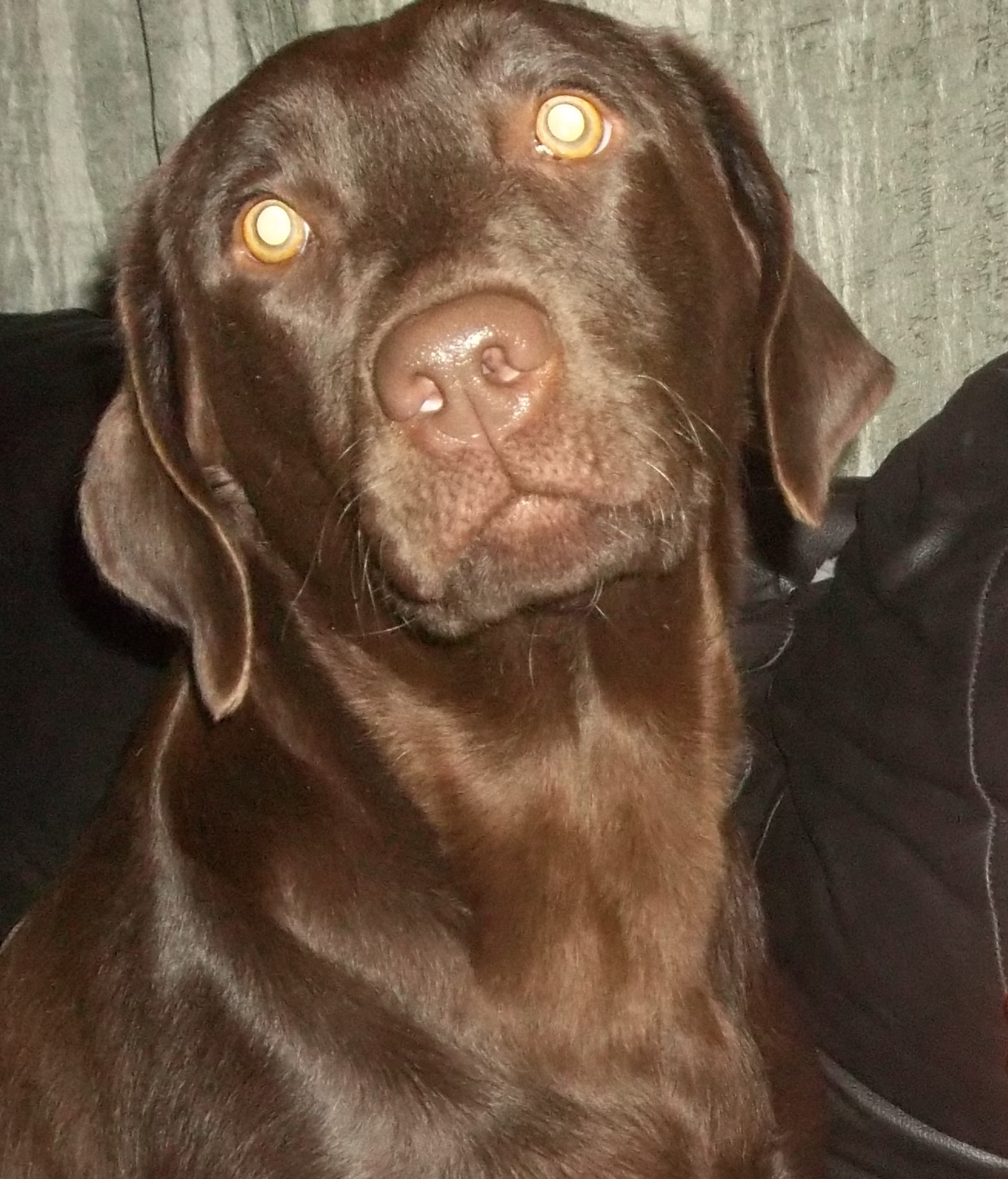 CORRIE CHOCOLATE LABRADOR