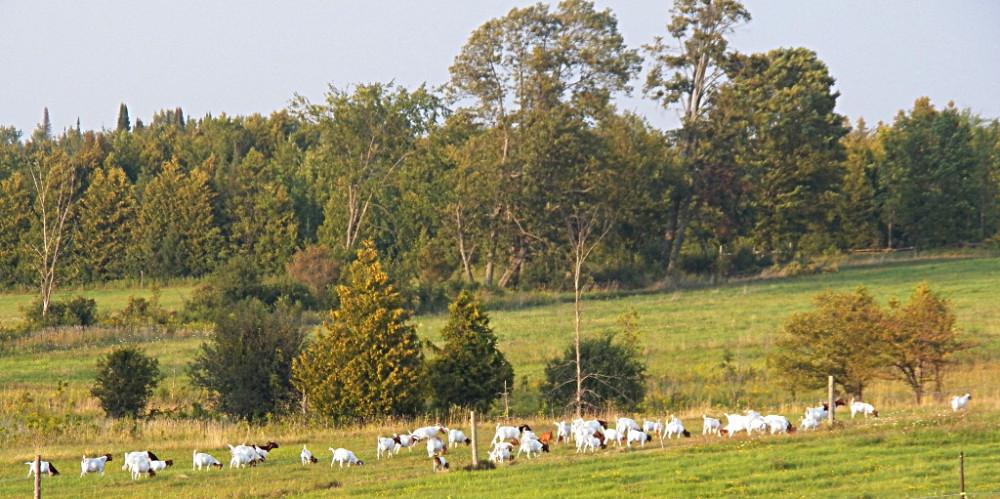 Bellbrooke farm boer goats