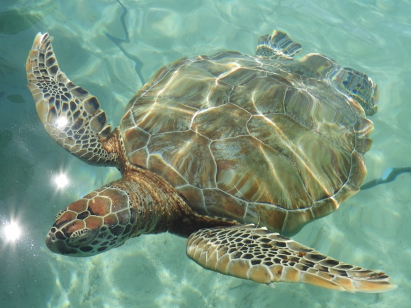Swim With Sea Turtles and Diving For Lobster