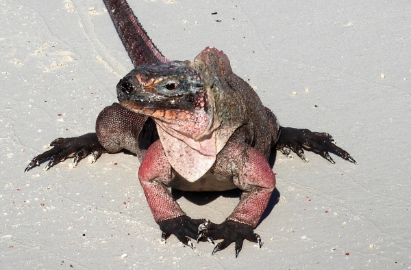 Another Wildlife Encounter, Pink Iguanas