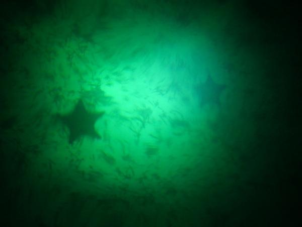 Bahama Sea Stars