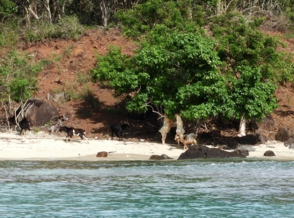 Goats on the Beach at Isla De Culebrita