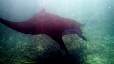 Swimming with Manta Ray in Fiji