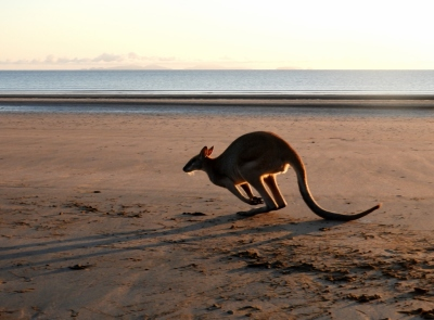 Kangaroo on Casuarina Beach