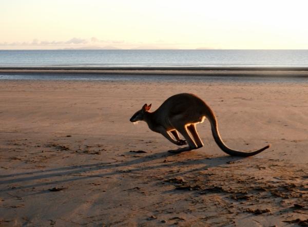 Kangaroo on Casuarina Beach