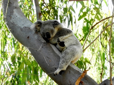 Koala on Magnetic Island