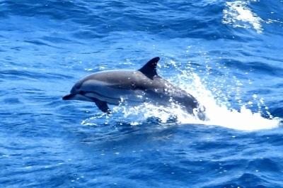 Indian Ocean Porpoise