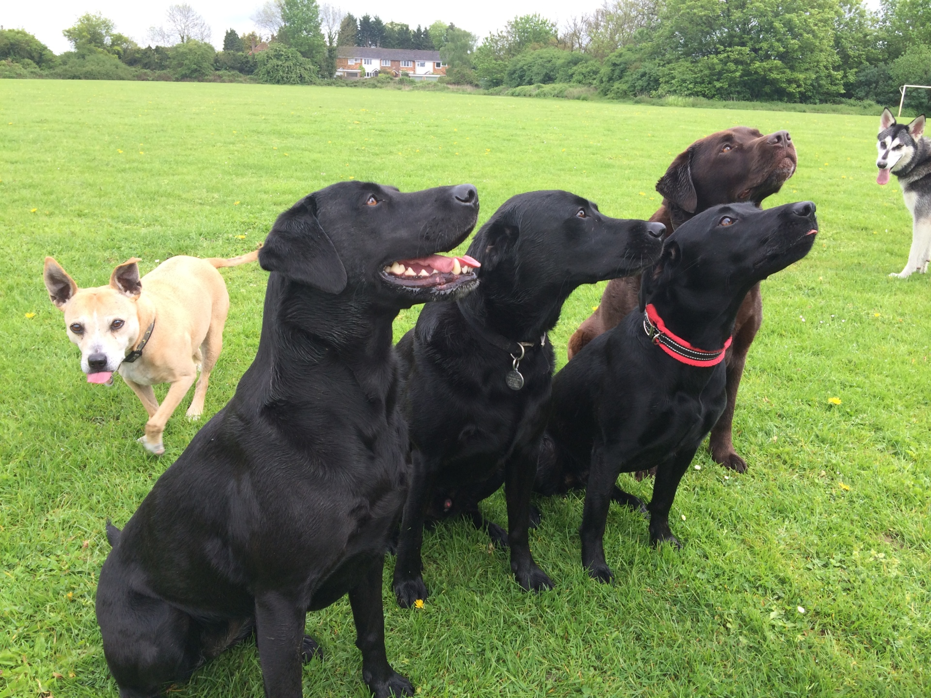 Labradors with a Stafford photobomb