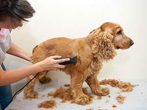 DOG GROOMING USING SHARPENED CLIPPERS