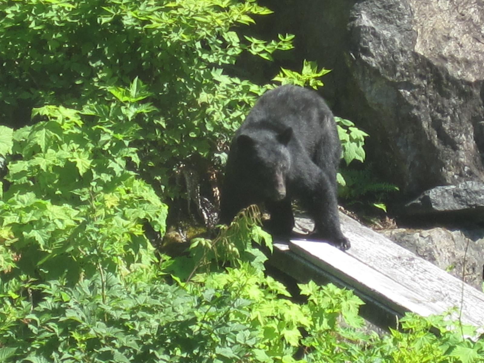 Seasonal Bear Trail, Nootka Gold