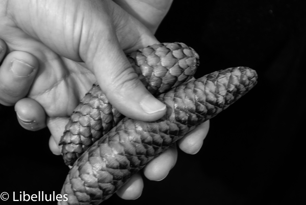 "<img alt=""hand holding pine cones"">"