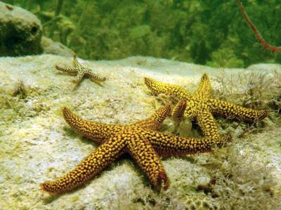 "Photo ""Starfish and Blenny"" by Keith Kolasa"