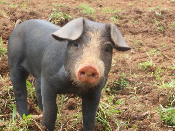 Curious Pig