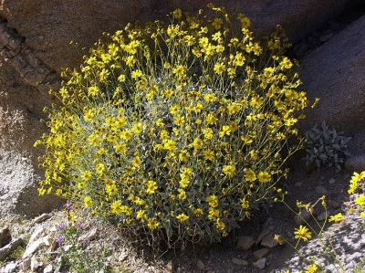 brittle bush