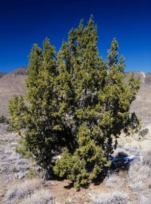 juniper tree or bush