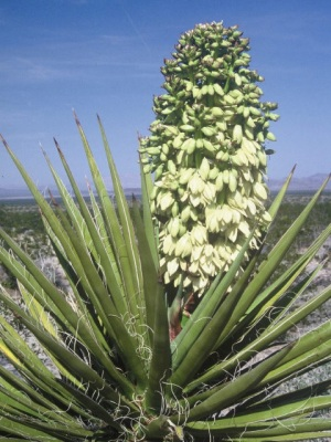 mojave yucca plant