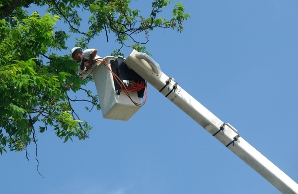 Branching Out Services chainsawing big tree in half.