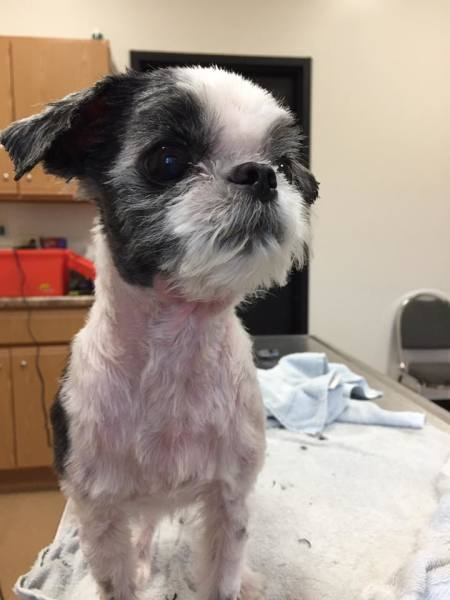 shih tzu volunteer groom after animal shelter society