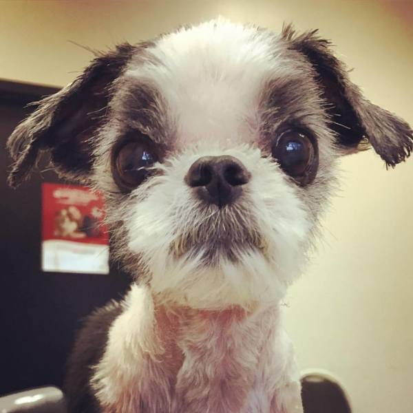 shih tzu groom volunteer after animal shelter