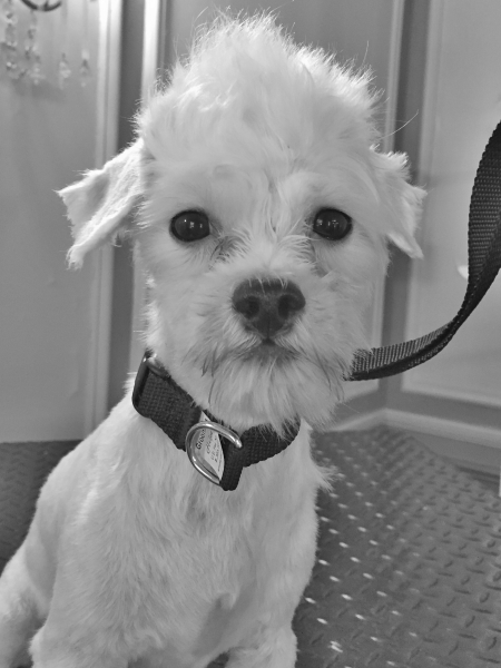 dog dogs rescuedog animalshelter volunteer doggrooming maltese mixedbreed