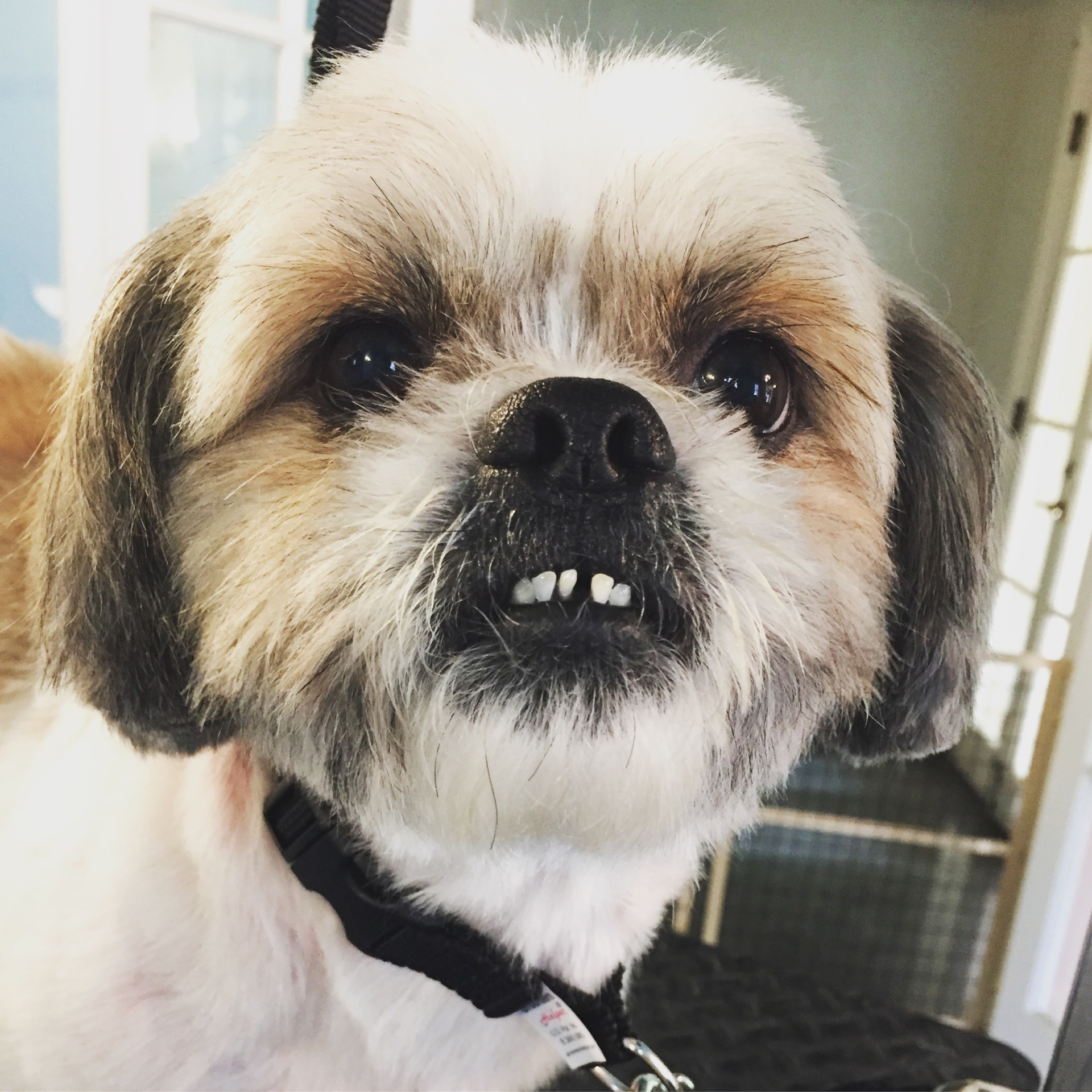 dog dogs doggrooming shihtzu