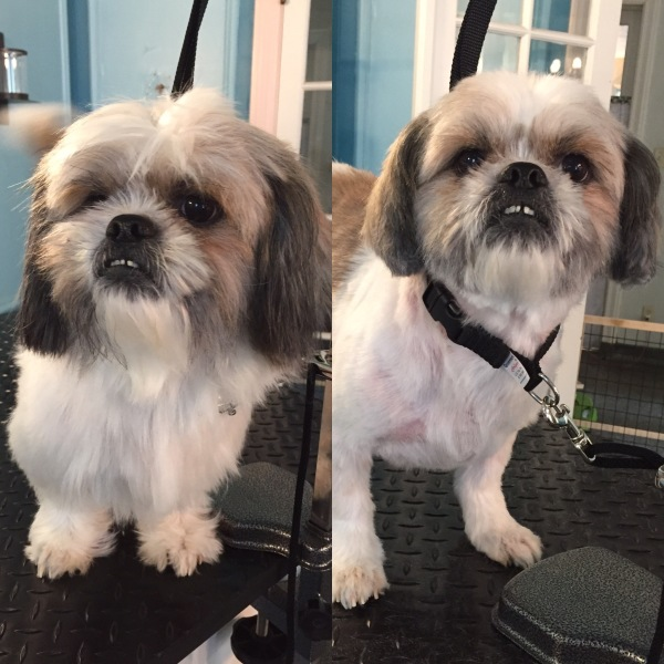 dog dogs doggrooming beforeandafter shihtzu