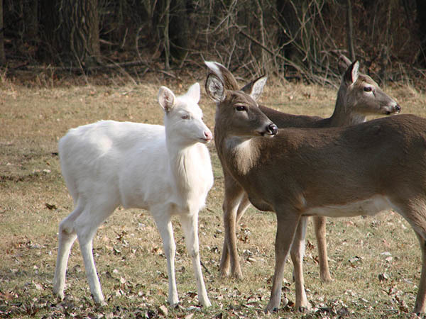 The White Deer Satire