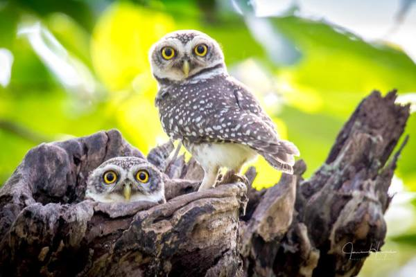 Spotted Owlettes