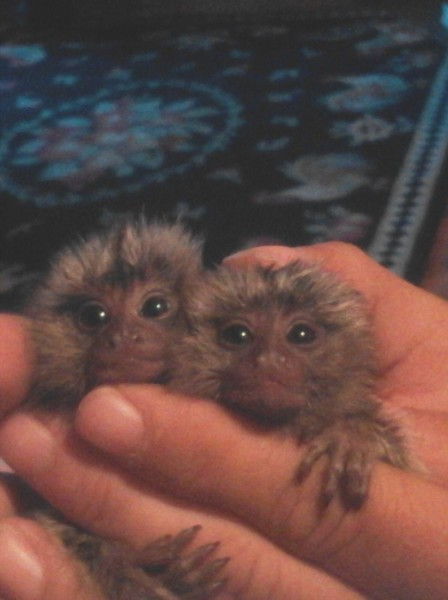 Common Marmoset $3,000 Each