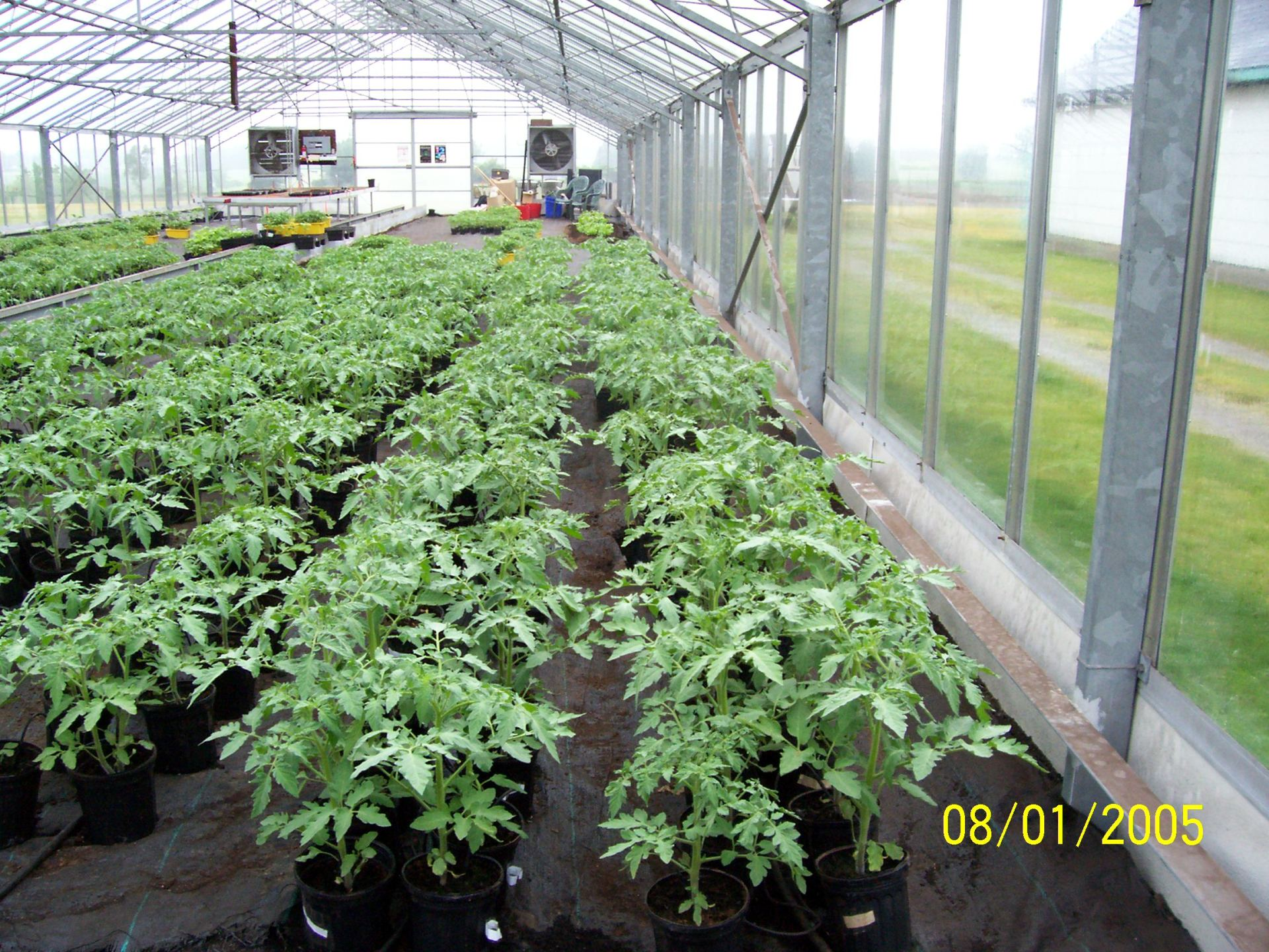 Planting session of Greenhouse Food Productions 2009 approximately 600lb of tomato