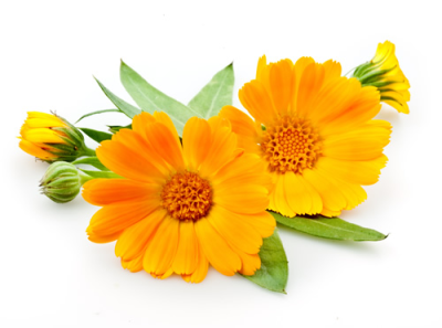 Homeopathy, Calendula officinalis, Priscille Homeopathy: Homeopathic Remedy, for Bristol and South Gloucestershire region.