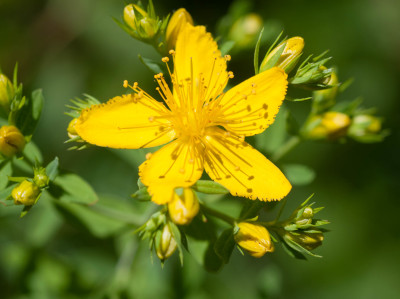 Homeopathy, Arnica Montana, Priscille Homeopathy: Homeopathic Remedy, for Bristol and South Gloucestershire region.