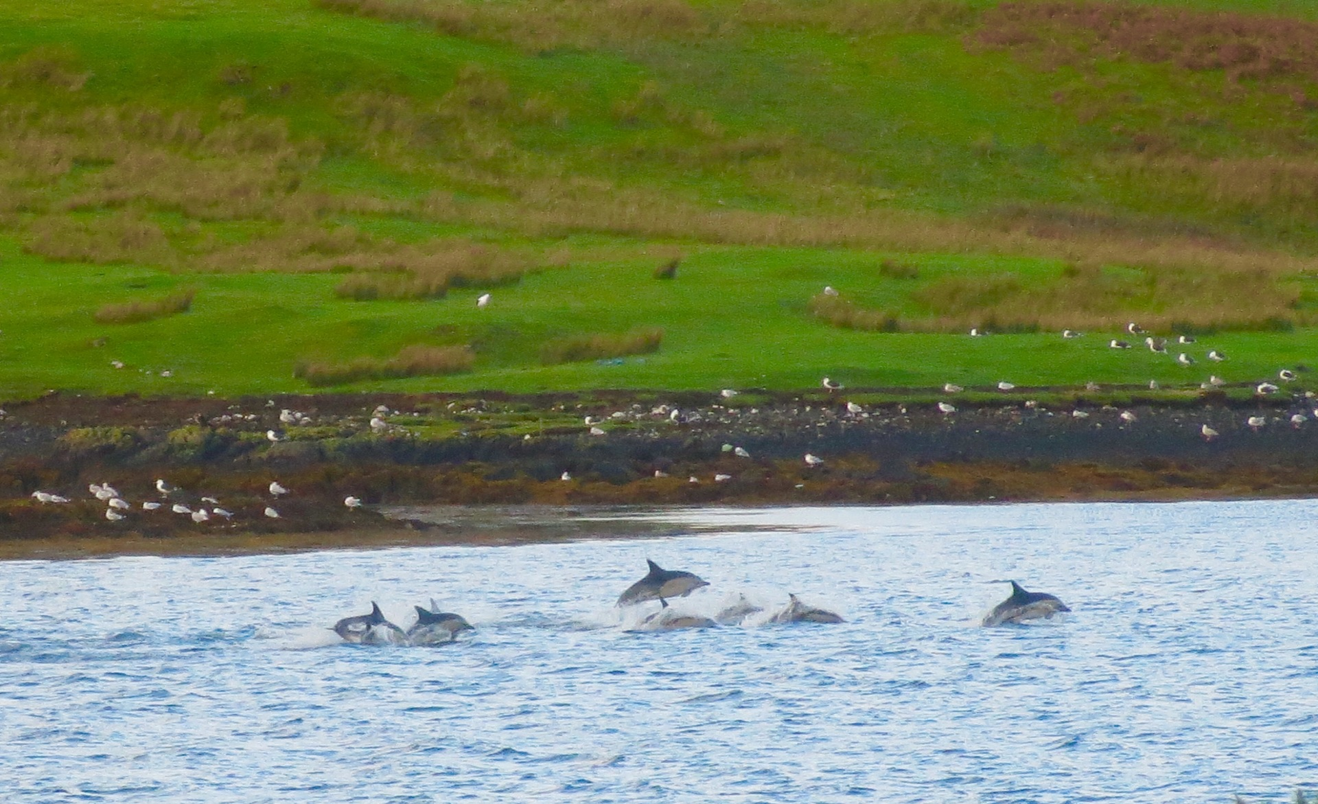 Dolphins in Loch Dunvegan