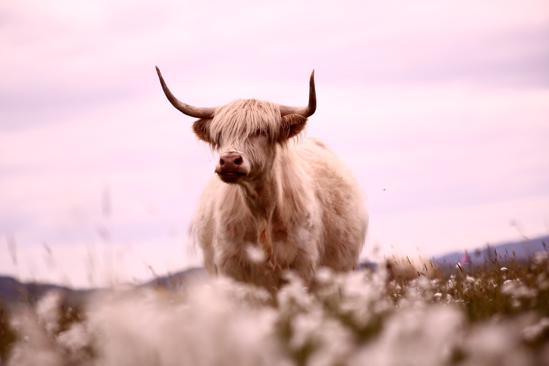 Highland Cows in the Pink