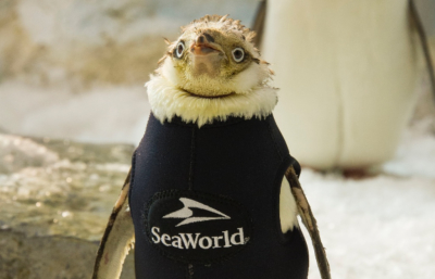 "SeaWorld Orlando's ""Wetsuit Penguin"" Starts the New Year with New Feathers"