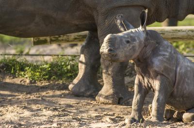 Baby White Rhino born at Busch Gardens Tampa