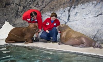 Walrus Awareness Week at SeaWorld