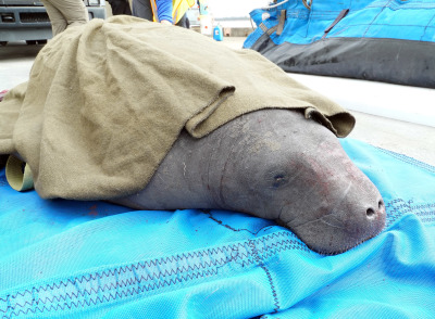 SeaWorld Team Assists with Rescue of Ten Manatees Stranded in South Carolina