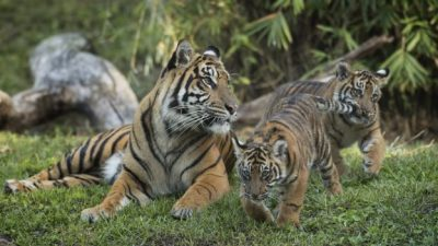 Critically Endangered Sumatran Tiger Cubs Arrive at Maharajah Jungle Trek