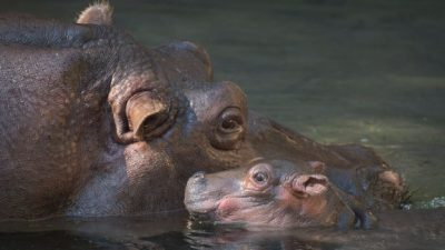 Baby Hippo Delights at Disney's Animal Kingdom