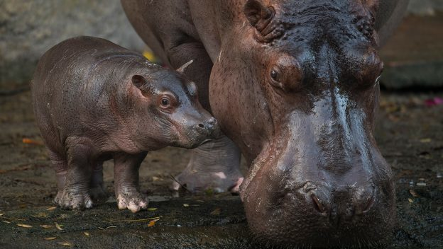 It's a Boy, Baby Hippo Born at Disney's Animal Kingdom