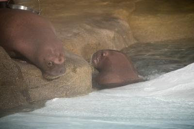 Walrus Calves Reach New Milestone at SeaWorld