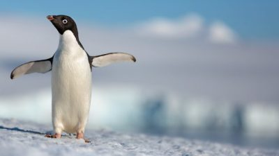Disneynature's 'Penguins' Trailer
