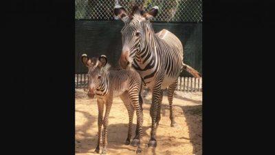 Grevy's Zebra Foals Join the Herd at Disney's Animal Kingdom