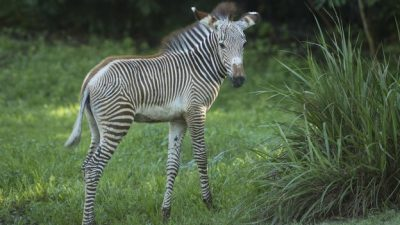 Grevy's Zebras Foals Debut at Disney's Animal Kingdom