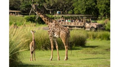 Kilimanjaro Safaris at Disney's Animal Kingdom Welcomes Giraffe Calf