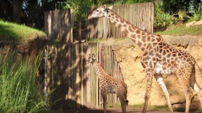 Wild Africa Trek Guide Spots Giraffe Aella For First Time